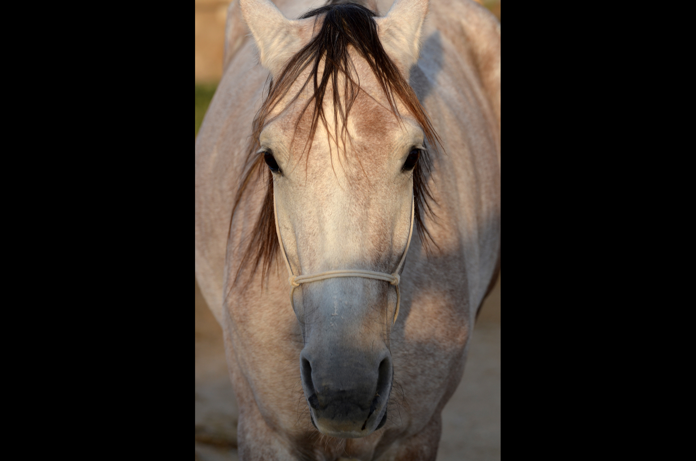 Eymire, arabian horse, mare, 6 years old